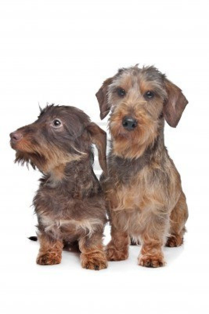 Two Miniature Wire Haired Dachshund Dogs In Front Of A White Wire Haired Dachshund Miniature Wire Haired Dachshund Dachshund Dog