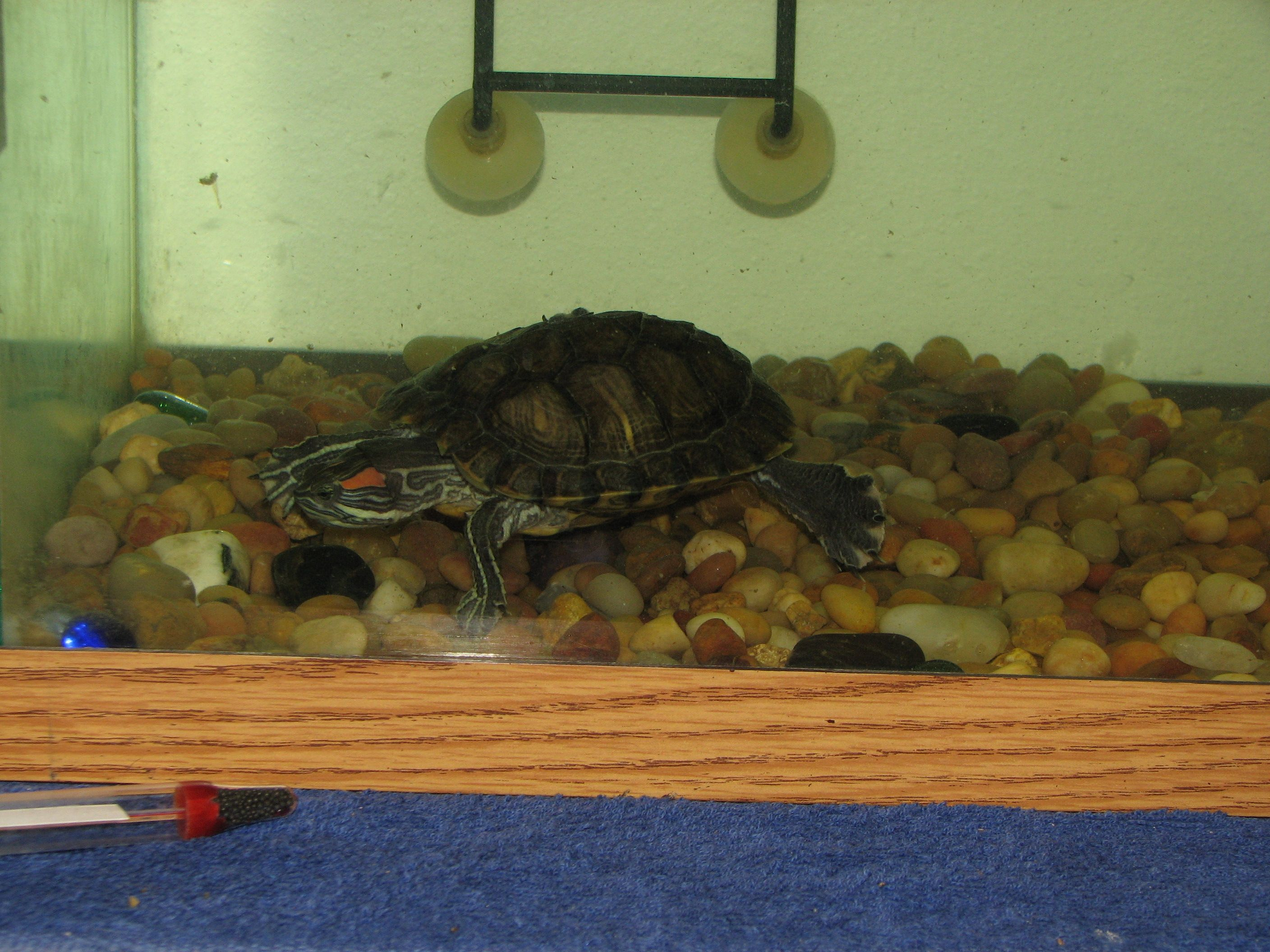 Quique digs in the rocks my geckos and turtles pinterest