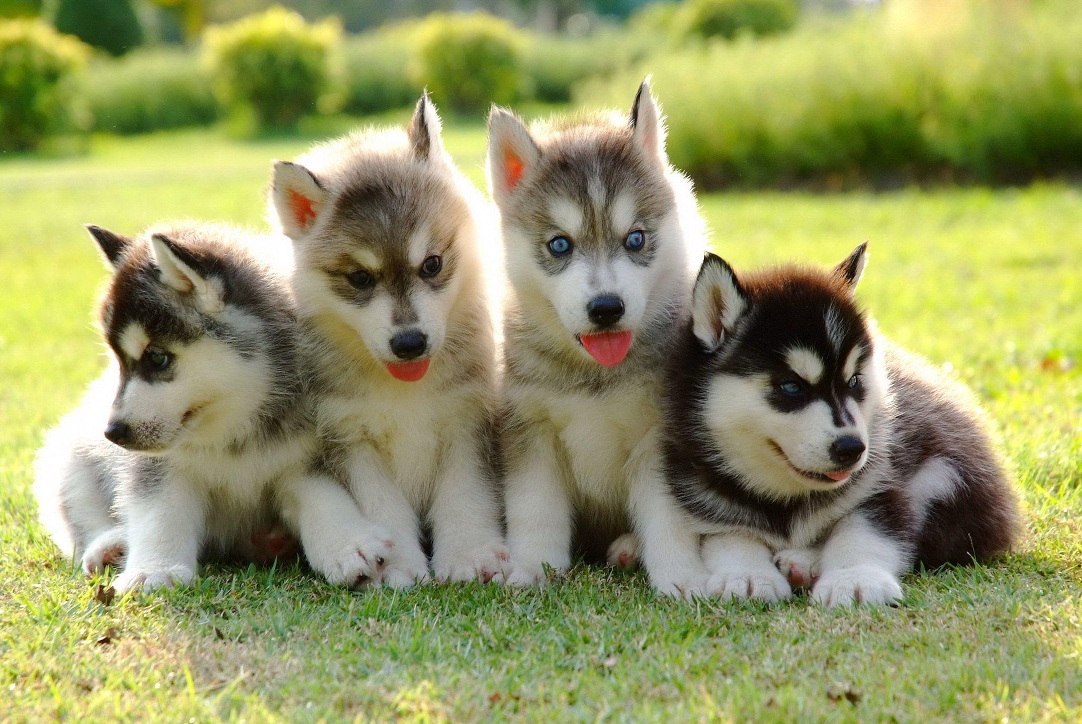 Blue Eyed Beauties Husky Puppy Greenfield Puppies Siberian