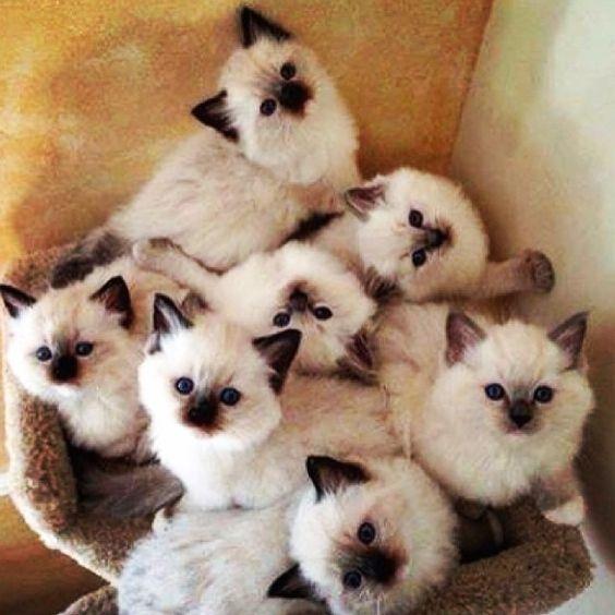 9 Most Loving Cat Breeds Fluffy Cat Breeds Cat Furry Cute Cats
