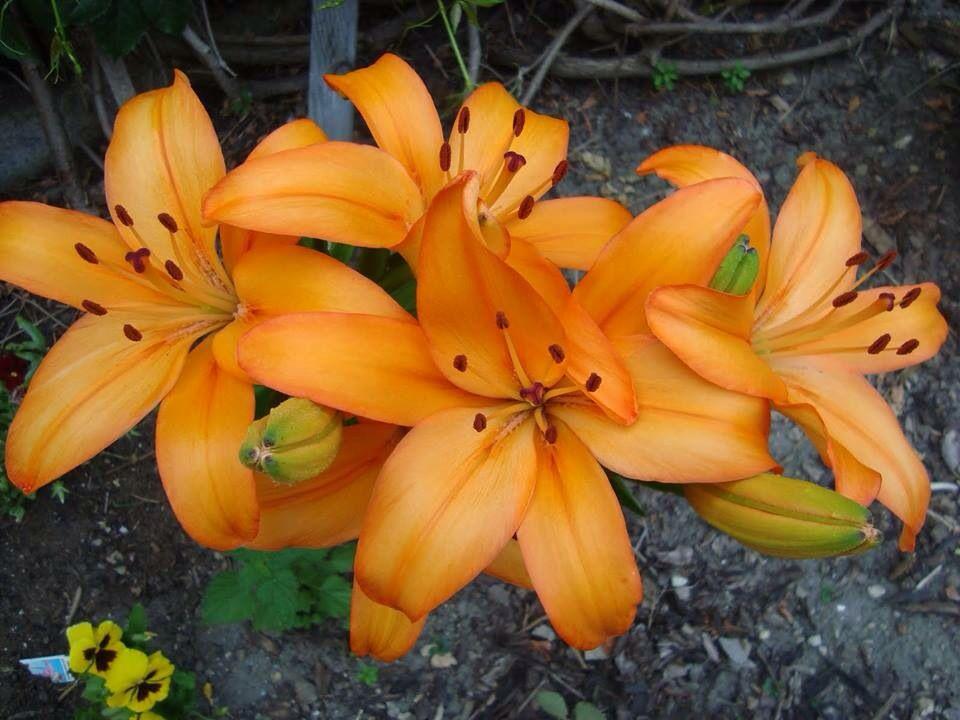 Beautiful lillies flowers nature flowers perennials