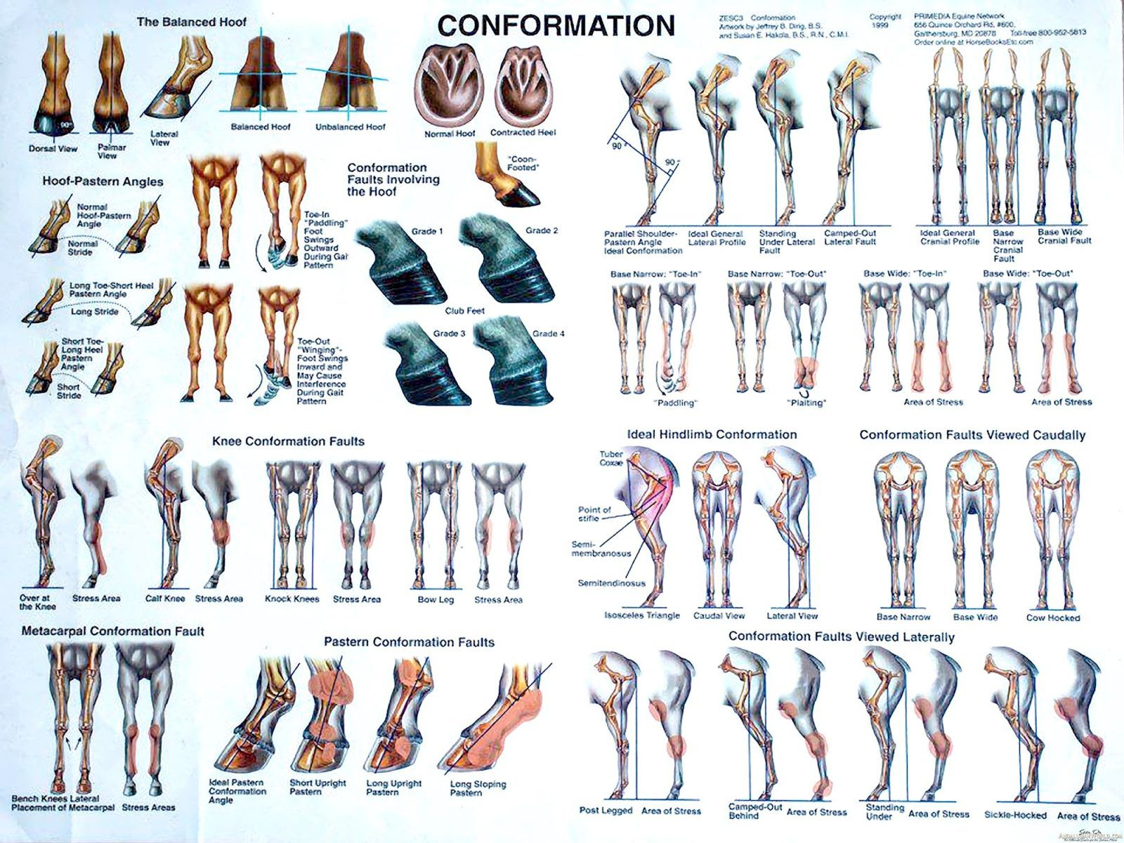 hight resolution of visual diagram explaining horse conformation