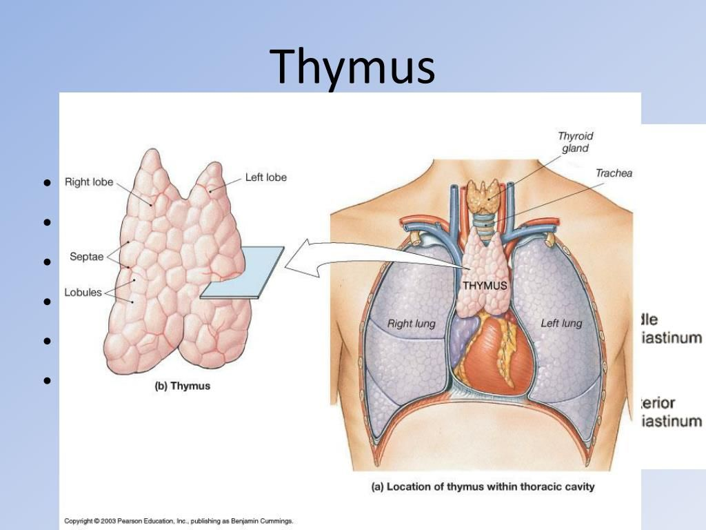 The Thymus Is The Only Organ That Performs Two Functions Together