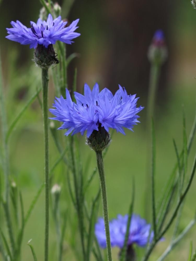 Blue Cornflower Flower Essence Flower Essences Flowers Northwest Flowers