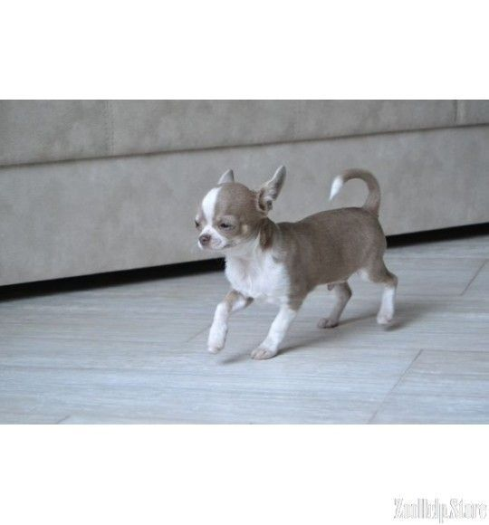 Chihuahua Puppies For Sale In V Chihuahua Puppies For Sale In Va
