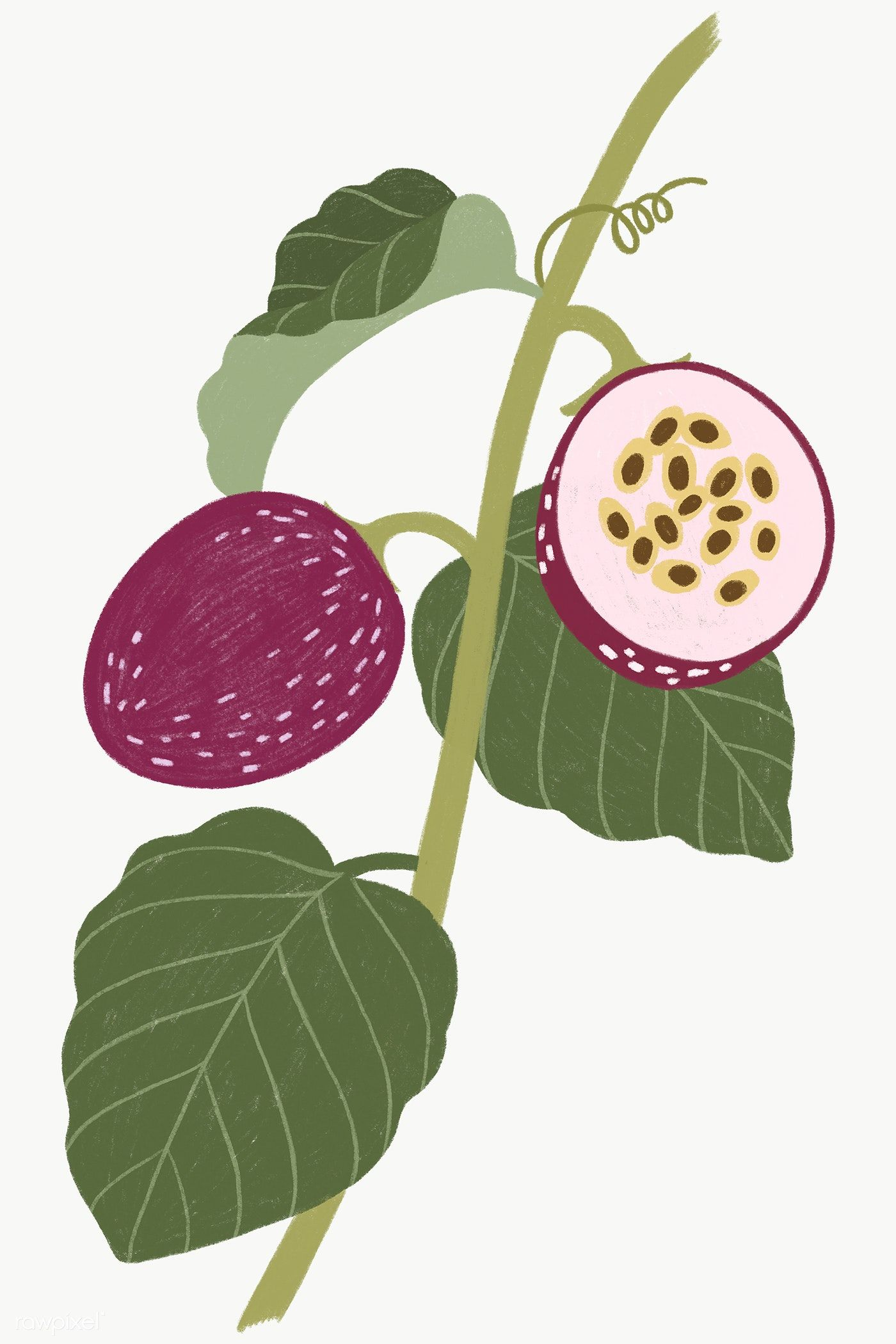Download Premium Png Of Hand Drawn Passion Fruit Design Resource Fruit Design How To Draw Hands Pomegranate Design