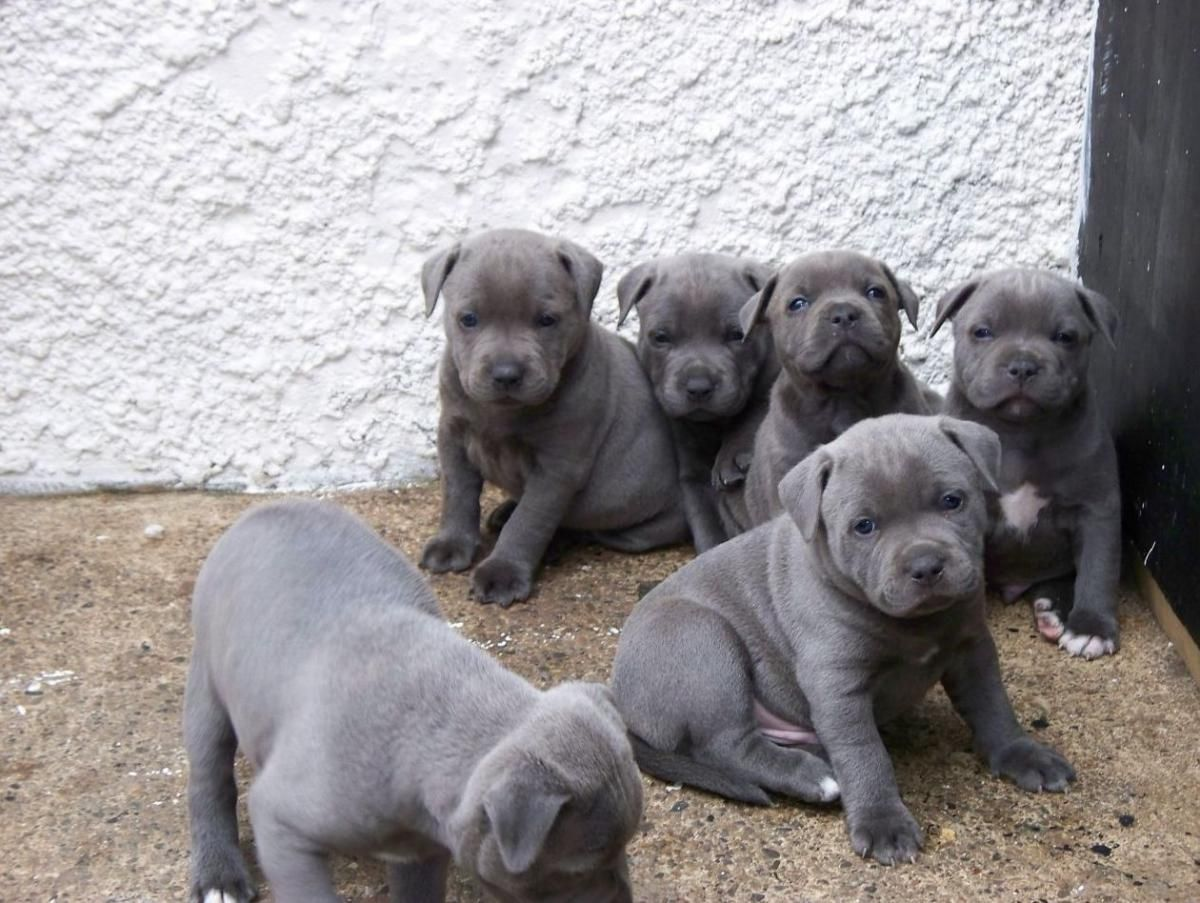 Staffordshire Bull Terrier Puppies For Sale Los Angeles Ca Bull Terrier Puppy Staffordshire Bull Terrier Puppies Staffordshire Terrier Puppy