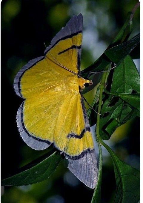 Moth おしゃれまとめの人気アイデア Pinterest 4d 蛾 蝶 虫