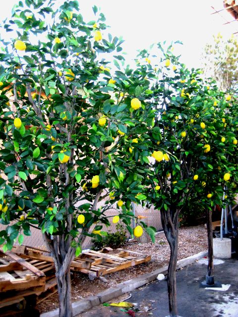 The Natural Looking Lemon Trees Were Custom Build At Plantworks Las Vegas Artificial Trees Plants Plant Companies