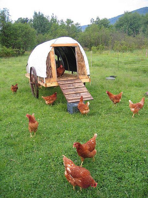 how to raise free range chickens pdf