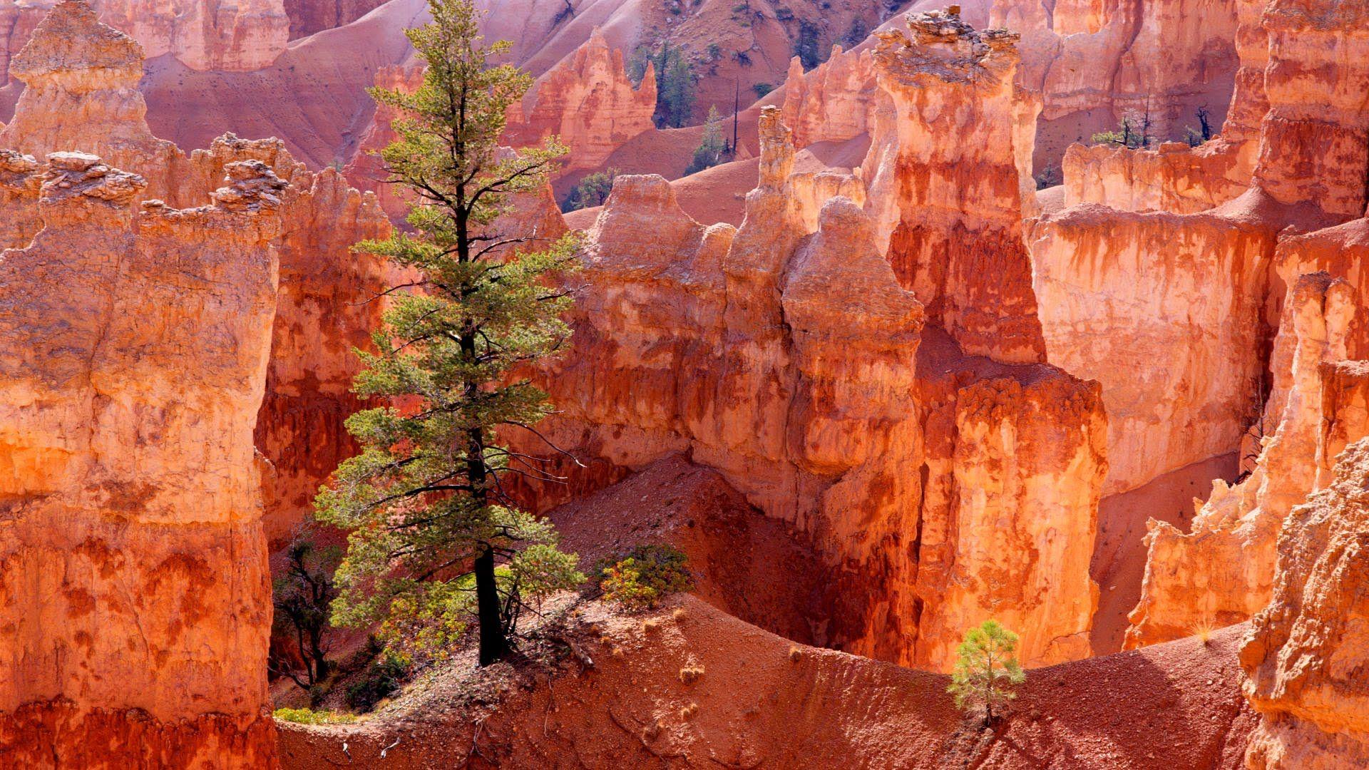 Lone Tree, Bryce Canyon, Utah Bryce canyon