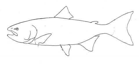 Salmon Outline Fish Coloring Page Coloring Pages