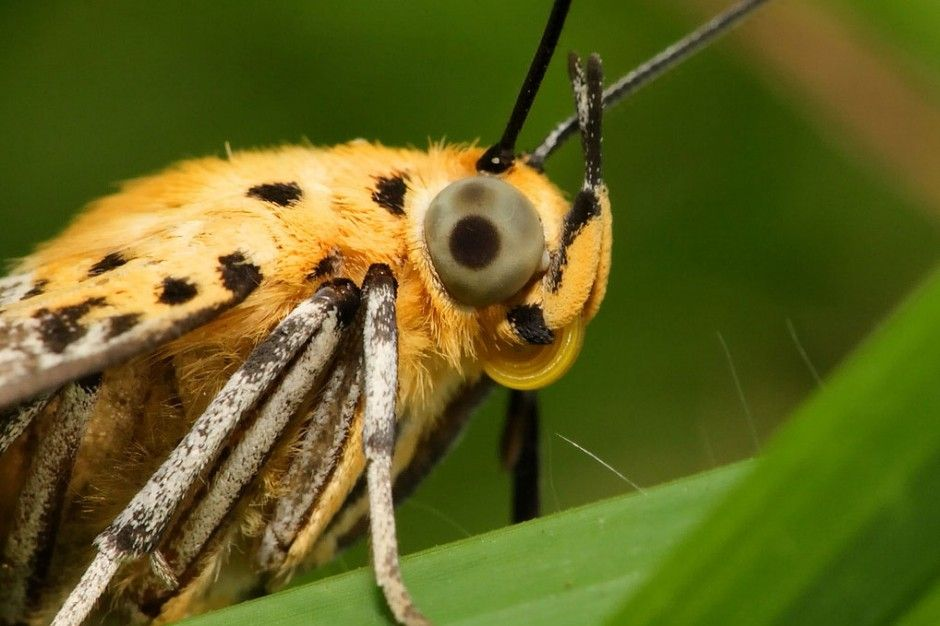 Moth Eye Inspires Improved Solar Panel Film Beautiful Bugs Insects Solar