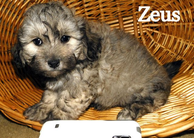 Teddy Bear Puppies For Sale In Wisconsin Find Teddy Bear Puppies
