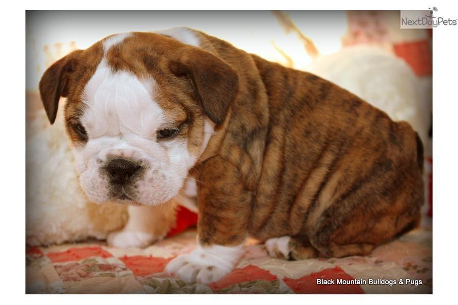 Meet Dancer A Cute English Bulldog Puppy For Sale For 2 500 Beautiful European Akc English Bulldog P Bulldog Puppies English Bulldog For Sale English Bulldog