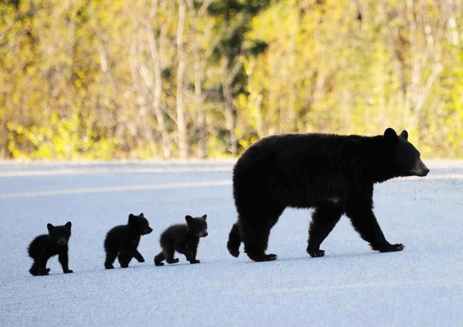 Mama Bear And Triplets We Have Seen Them Round Here Lately 3 Cubs Cool
