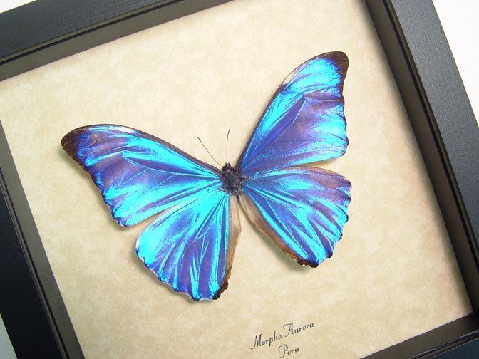 c52f66e0d Rare Morpho Aurora Real Blue Framed Butterfly 717. $59.99, via Etsy.