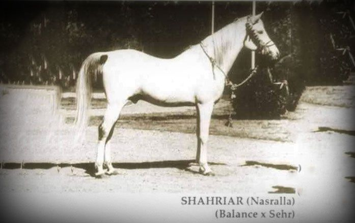 هل هناك شك في أصالة الحصان نصر الله Horses Arabian Horse Arabians