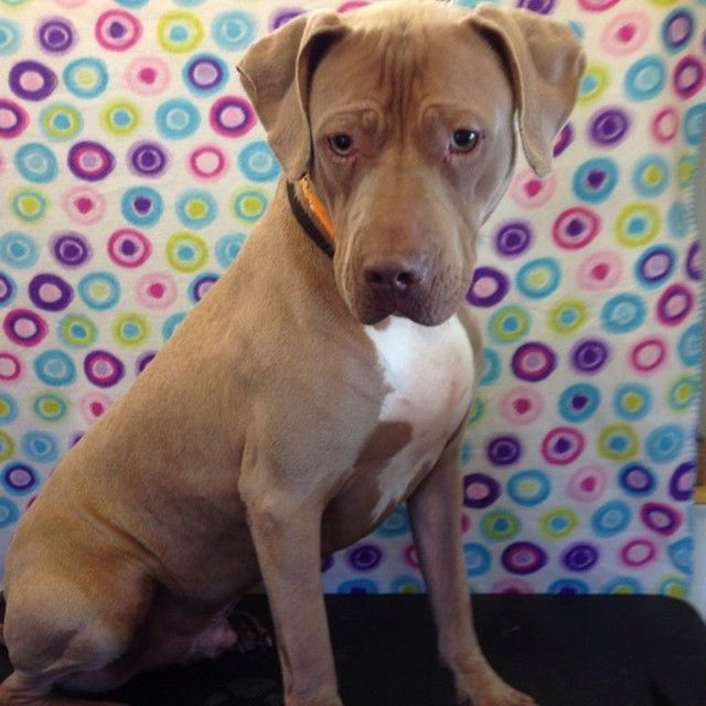Weimaraner Mix With Pitbull Pitbull Mix Pitbull Dog Pictures