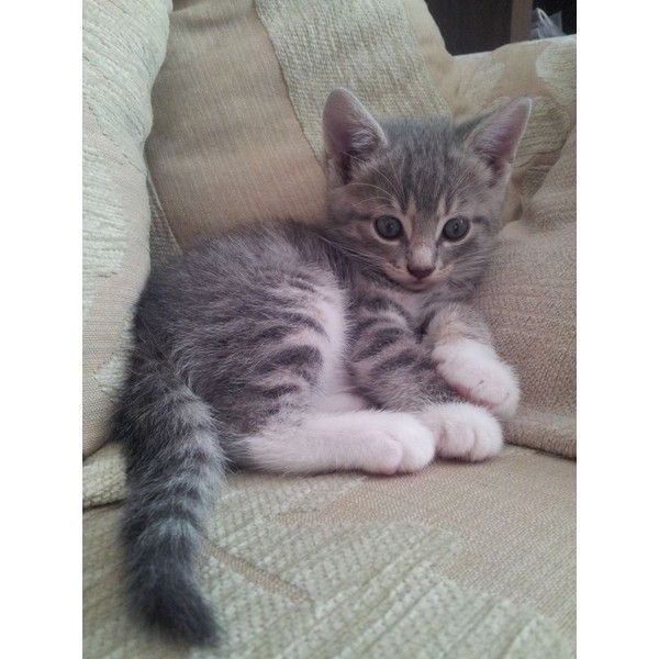 Grey And White Kitten For Sale 51e8475de5a90 Jpg 960 1280 Liked On Polyvore Featuring Animals Grey Tabby Cats Grey Tabby Kittens Tabby Kittens For Sale
