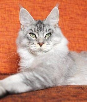 Maine Coon, black silver tabby ticked (ns 25). JP TGC Williamina Takeshi