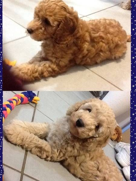 Toy Spoodle Morayfield Caboolture Area Image 1 Cute Dogs Spoodle New Puppy