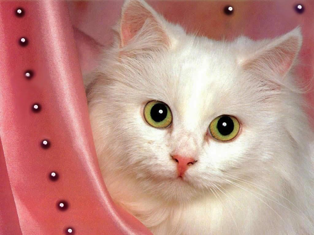cute white cat wallpapers | cat art | pinterest | cat wallpaper