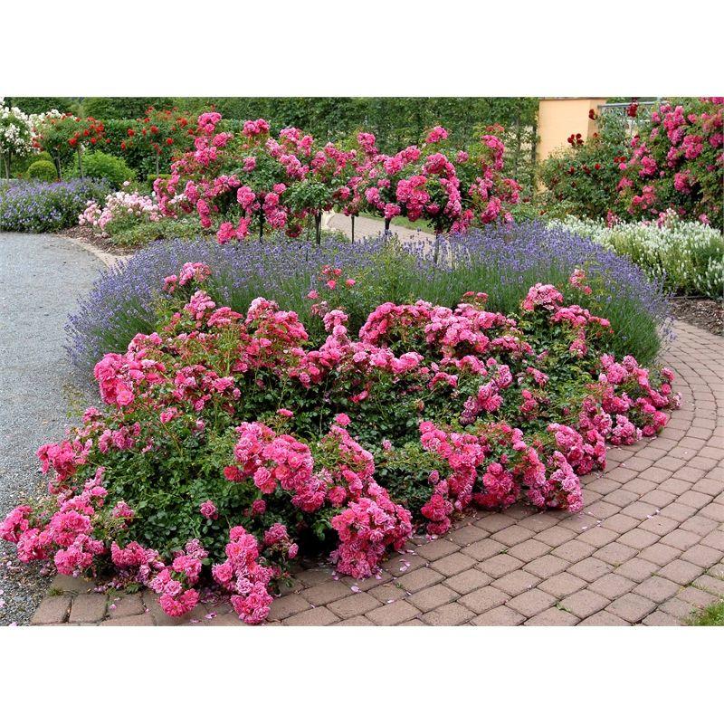 140mm Flower Carpet Roses Pomysły na ogród ️ Shrub