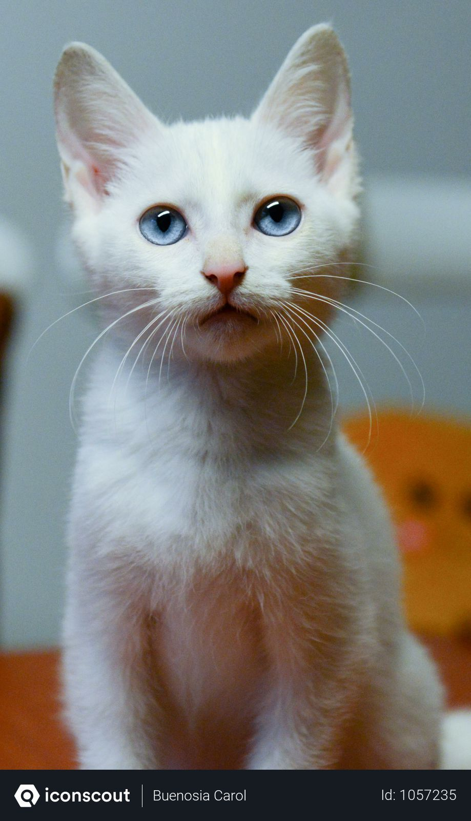 Free White Cat With Blue Eyes Photo Download In Png Jpg Format