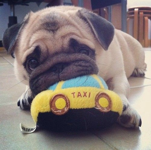 Taxi Yes Please Go To My Mouth Nom Nom Nom Cute Pugs