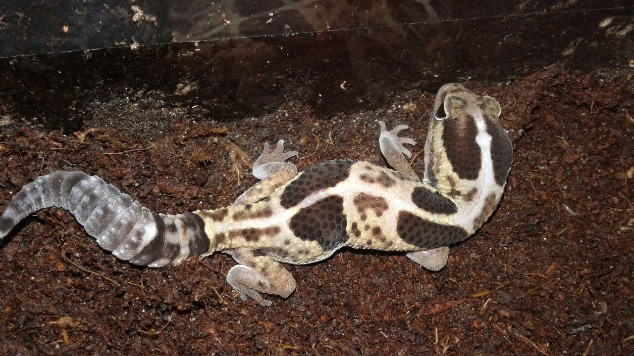 My white out african fat tail gecko african fat tailed gecko