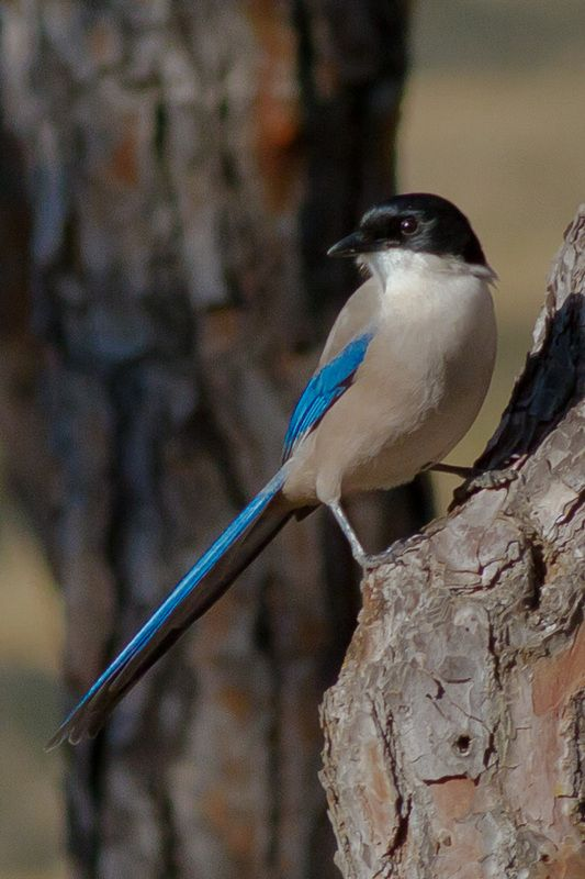 The Azure-winged Magpie (Cyanopica cyanus) is a bird in the crow family.It occurs over a much larger region of eastern Asia in most of China, Korea, Japan, and north into Mongolia and southern Siberia.