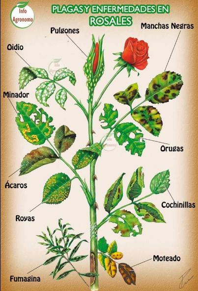 Plagas y enfermedades en rosales jard n pinterest for Hongos en las plantas de jardin