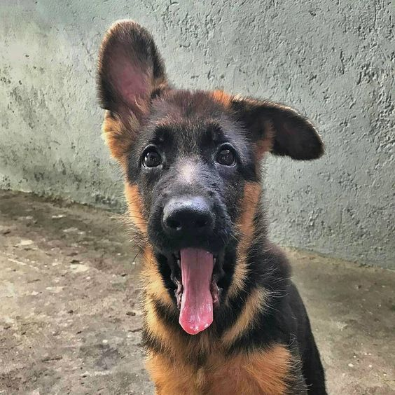 Yawn Germanshepherd Dog Baby Pictures Gsd Puppies