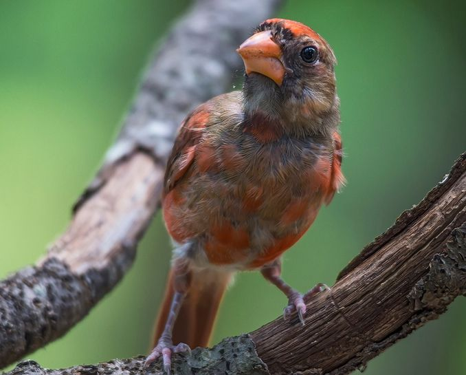 Photo A Young Cardinal Transitions To Red With Images Nature