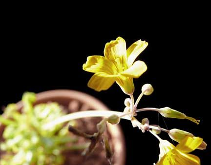 oxalis_herrerae_bloom