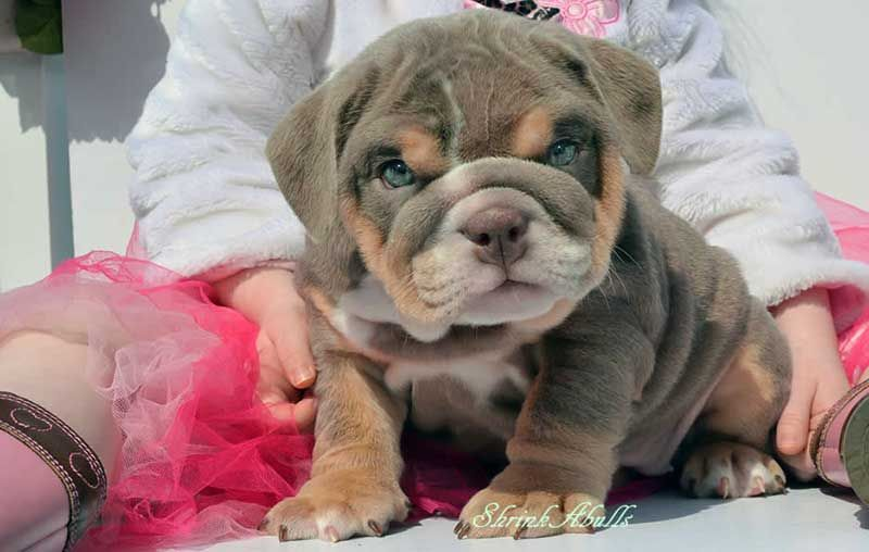 Brown Mini English Bulldog Puppy What A Beautiful Color And