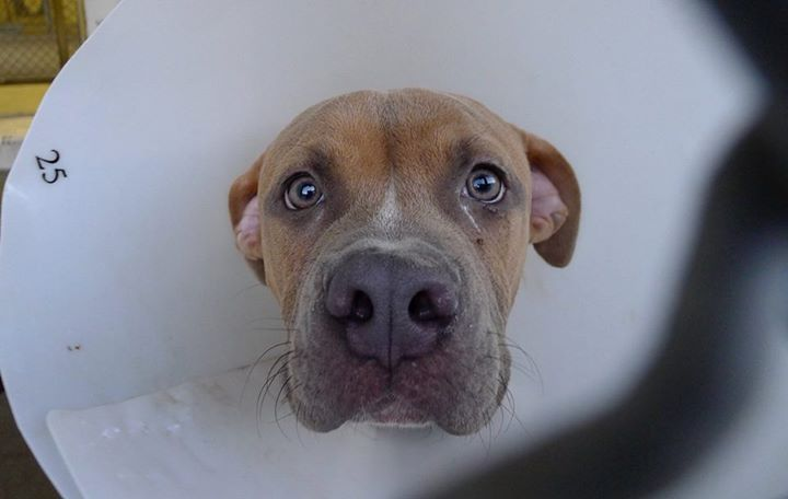 RESCUED :) BOX is so adorable & even with that leg injury he is still super  loving. Please SHARE for his life, a FOSTER or ADOPTER would save this sweet boy now. Thanks! #A4895278 BOX Male Pit Bull mix. I am not yet neuteres about 5 months old. I came to the shelter as a stray on November 8, 2015  Carson Shelter, Gardena, California  https://www.facebook.com/savingcarsonshelterdogs/photos/a.219655291540446.1073741846.171850219654287/509305815908724/?type=3&theater&__mref=message_bubble