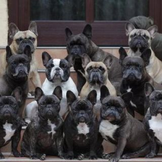 Lots Of Frenchies Who Couldn T Love These Faces