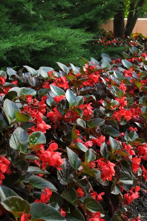 Page Not Found Calloway S Nursery Plants Begonia Front Flower Beds