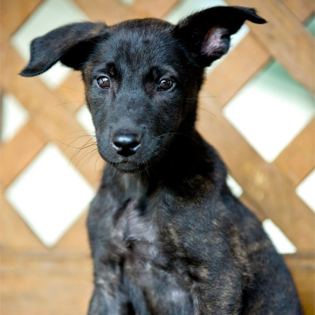 Dutch Shepherd Puppy for Sale mossk9 Puppies for sale