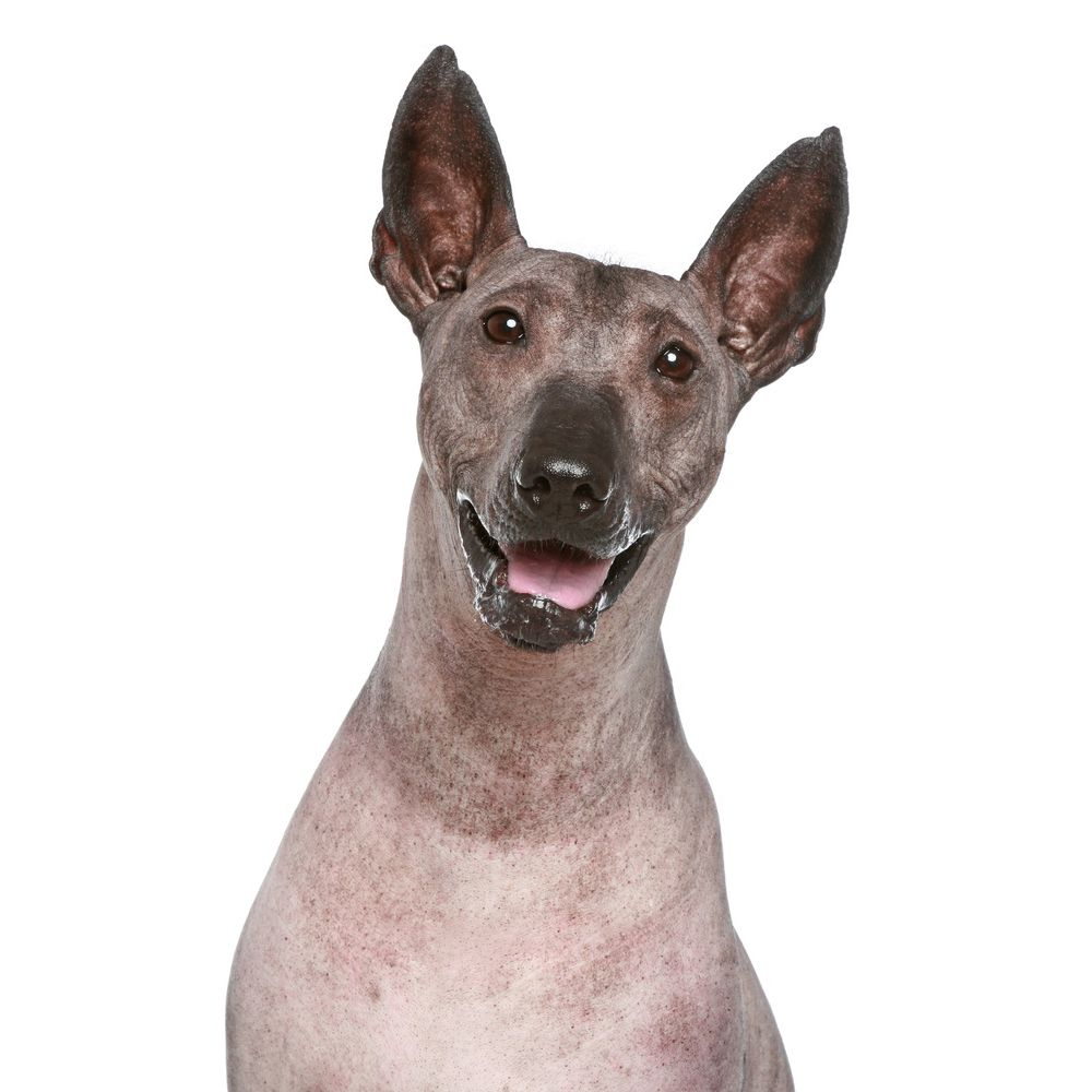 Peruvian Inca Orchid Dog Breed Information and Pictures