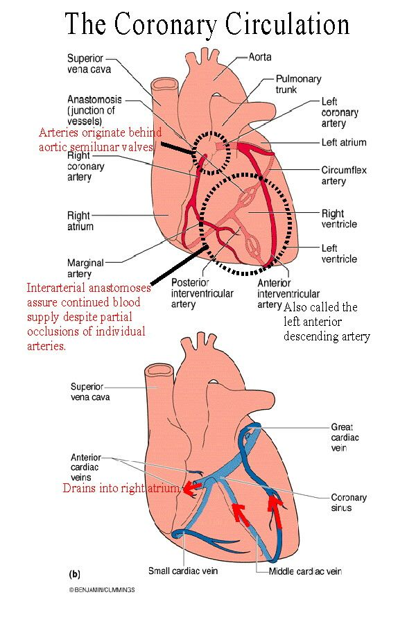 Left Descending Anterior Heart Diagram Blood Flow Trusted Wiring