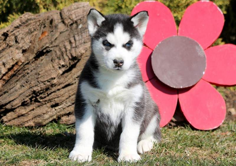 Siberian Husky Puppy For Sale In Mount Joy Pa Adn 71024 On