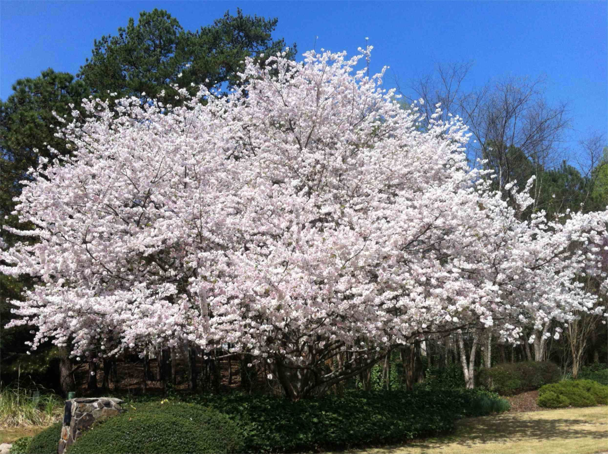 Yoshino Cherry Tree Is Common In The Georgia Landscape The Yoshino Grows A Bit Larger And Has White Or Pale Pink Blooms In The Spring A Souther Agac Cicek