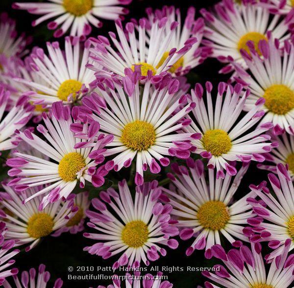 Yolaporte Spoon Mum Chrysanthemum X Morifolium Beautiful Flowers Pictures Chrysanthemum Gardening Advice