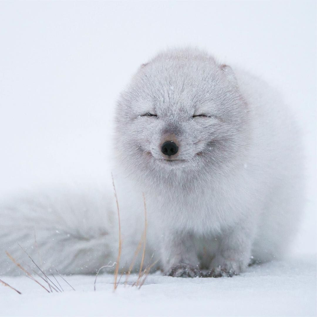 """Earth Pics  on Instagram: """"Smiling Arctic Fox   Image via @outofwild. Photo by Morten Hilmer Check out our friends @outofwild for more awesome pics like this!"""""""