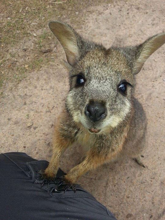 Tamar Wallaby Pearcedale Vic Animals Wild Animals Cute Animals