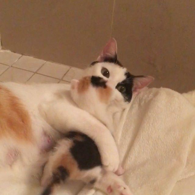 I love my mom #fosterkittens #kittensofinstagram #kitten #kittenoftheday #kittens #rescuekitty #rescuekittensofinstagram #rescuecat #babyanimals #cat #kitty #kittycat #calico #calicocat #calicokitten #calicokitty #minime #mommysgirl