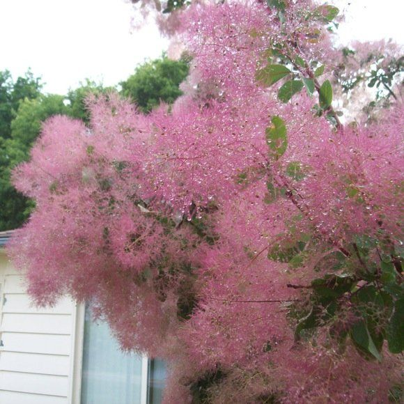 Smoketree Cotinus Obovatus Variety Name Cotton Candy Northstar Fluffy Pink Blooms In Summer And Bright Orange Red Fall Folia Smoke Tree Smoke Bush Bush Plant